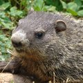 How to Use Epsom Salts to Keep Woodchucks Away From a Vegetable Garden