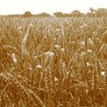 Importance of Loamy Soil for Growing Wheat