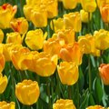When Do You Plant Tulip Bulbs in Texas?