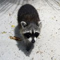 How to Get Rid of Raccoons Under Your House