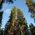 Chemicals That Kill Mature Pine Trees