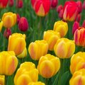 How to Plant Tulips in Florida