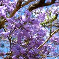 Spring Purple Flowering Trees