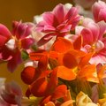 Can You Plant a Kalanchoe Outside?