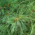 What Are the Uses of Pine Needles?