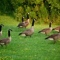 Homemade Geese Repellent