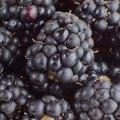 How to Grow Blackberries in Pots