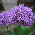 How to Deadhead Allium