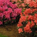 How to Grow Azaleas in Texas