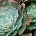 List of Succulent Plants