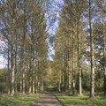 The Lifespan of a Poplar Tree