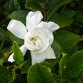 Are Gardenias Toxic?