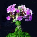 How to Harvest Phlox Seeds