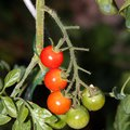 How to Identify a Tomato Plant by the Leaves