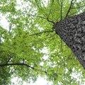 How to Trim Pin Oak Trees