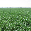 What Types of Soil Do Soybeans Grow the Best In?