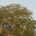 Oak Trees of South Carolina