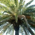How to Care for a Pindo Palm
