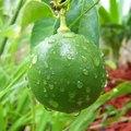 How Do Limes Reproduce?
