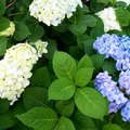 Where Do I Cut to Trim Hydrangeas?