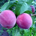 How to Care for a Peach Tree to Make Big Peaches