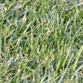 Symptoms of Disease in St. Augustine Grass