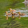 How to Protect Duck Eggs