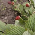 Ants & Strawberry Plants