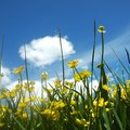 How to Plant Buttercups