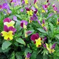 Flowers That Look Like Pansies