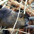 Easy Homemade Beaver Traps