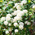 How to Prune a Viburnum Snowball Shrub