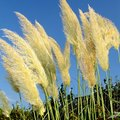 Pampas Grass Allergies