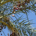 How to Dig Up a Palm Roebelenii for Removal