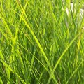 How to Turn Yellow Grass Green