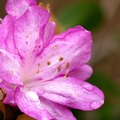 How to Root Azaleas From Established Plants