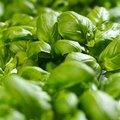 How to Start a Culinary Herb Garden