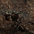How to Control Rover Ants
