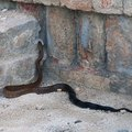 How Can I Get Rid of Black Snakes & Copperheads in and Around My House?