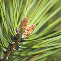 How to Get Paid to Plant Pine Trees