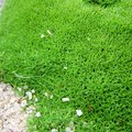 Irish Moss Problems