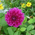 Dahlia Flower Colors