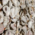How to Clean Oyster Shells for Compost