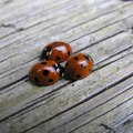 How to Get Rid of Little Brown Lady Bugs