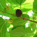 What Kind of Fertilizer Does a Mulberry Tree Need?