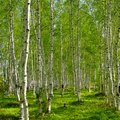 Trees Similar to the Birch