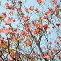 Dogwood Vs. Cherry Tree