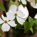 How to Grow Dogwood Trees in a Pot