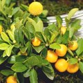 What to Do With Citrus Trees With Yellow Leaves