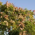 How to Kill Chinese Tallow Trees